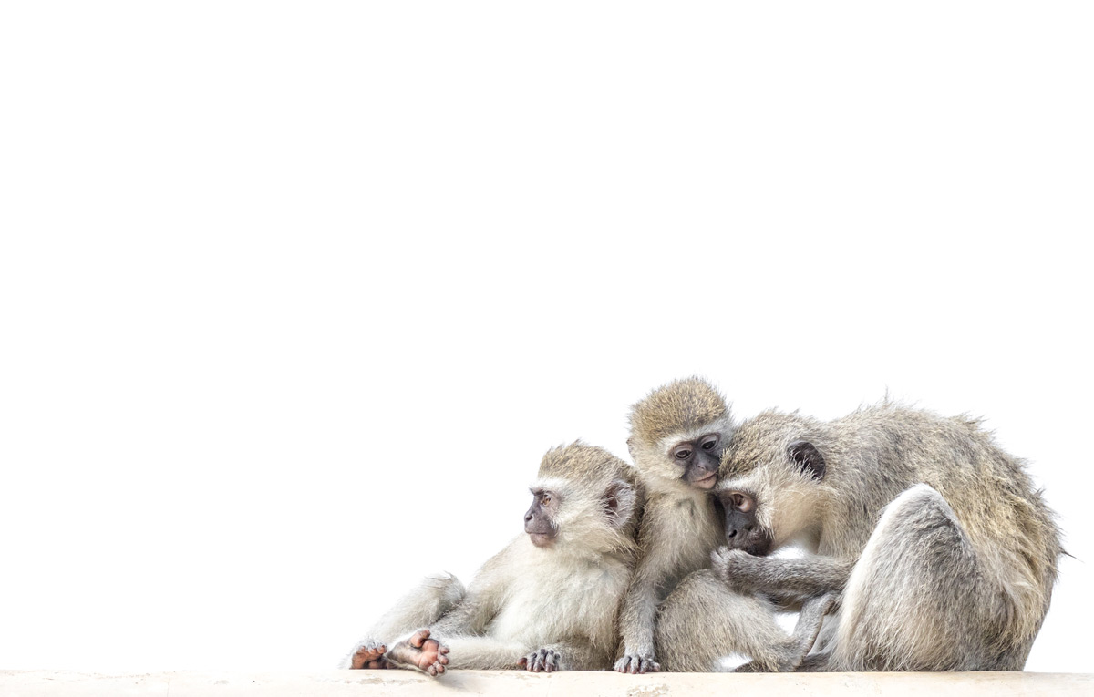 Vervet monkeys on a roof at Tshokwane picnic site in Kruger National Park, South Africa © Karen Blackwood