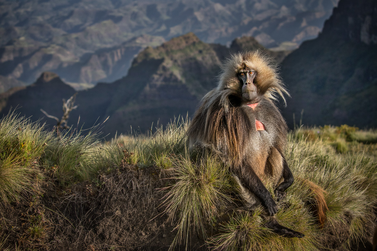 A gelada (also known as a bleeding-heart monkey) in the Ethiopian Highlands, Ethiopia © Kevin Dooley