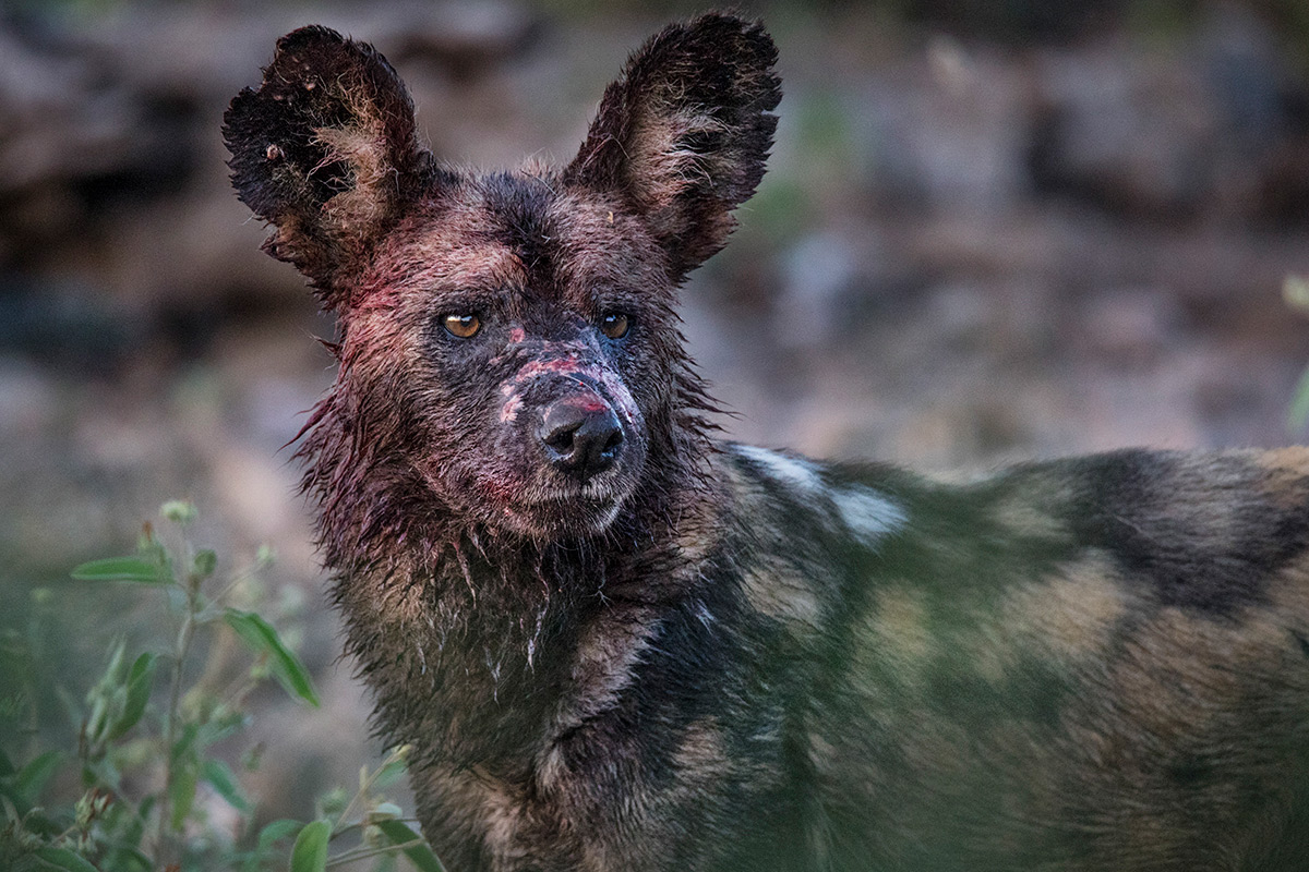 A painted wolf (African wild dog) in South Africa © Kevin Dooley
