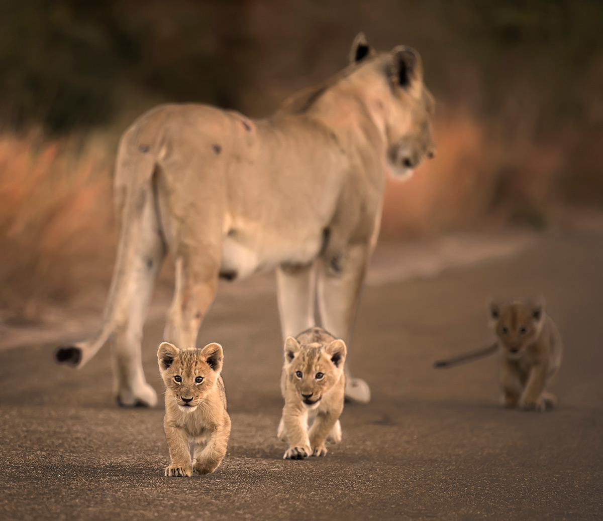 A lioness with her curious cubs in Kruger National Park, South Africa © Licinia Machado