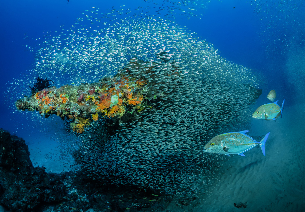 A group of king fish surround their prey, silverback fish, in Sodwana Bay, South Africa © Pier Mane