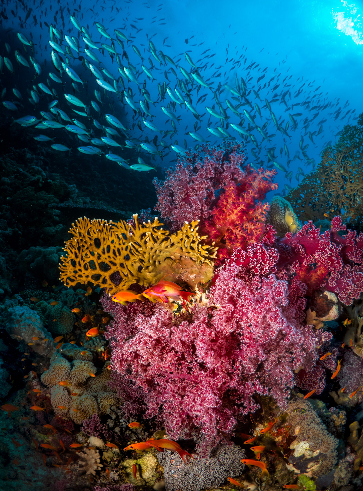 """Garden of Eden"" – colourful soft corals in Sanganeb Marine National Park, Sudan © Pier Mane"