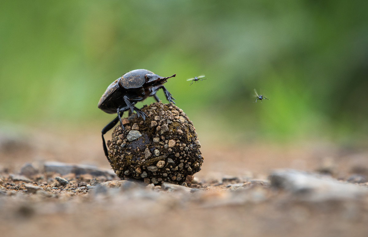 'King of the dung' in iSimangaliso Wetland Park, South Africa © Manuel Alexander Graf
