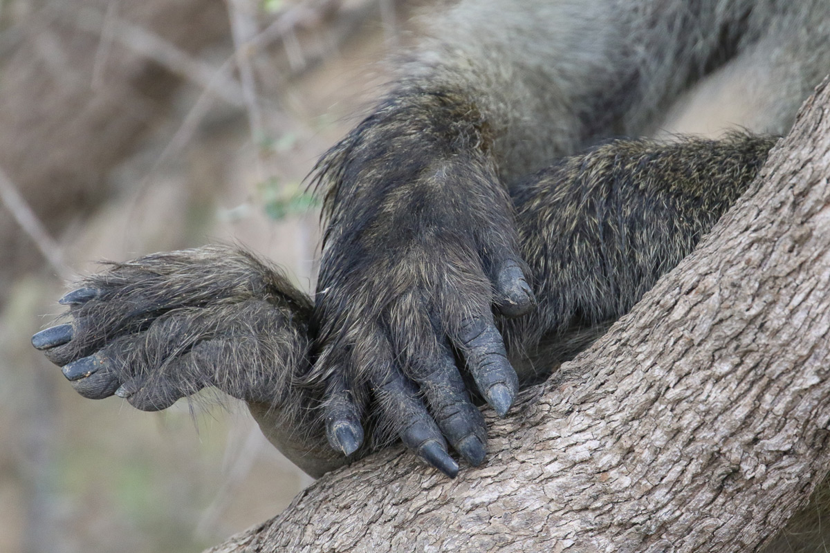 A baboon rests his hands on a tree trunk in Kruger National Park, South Africa © Marijke Claassen