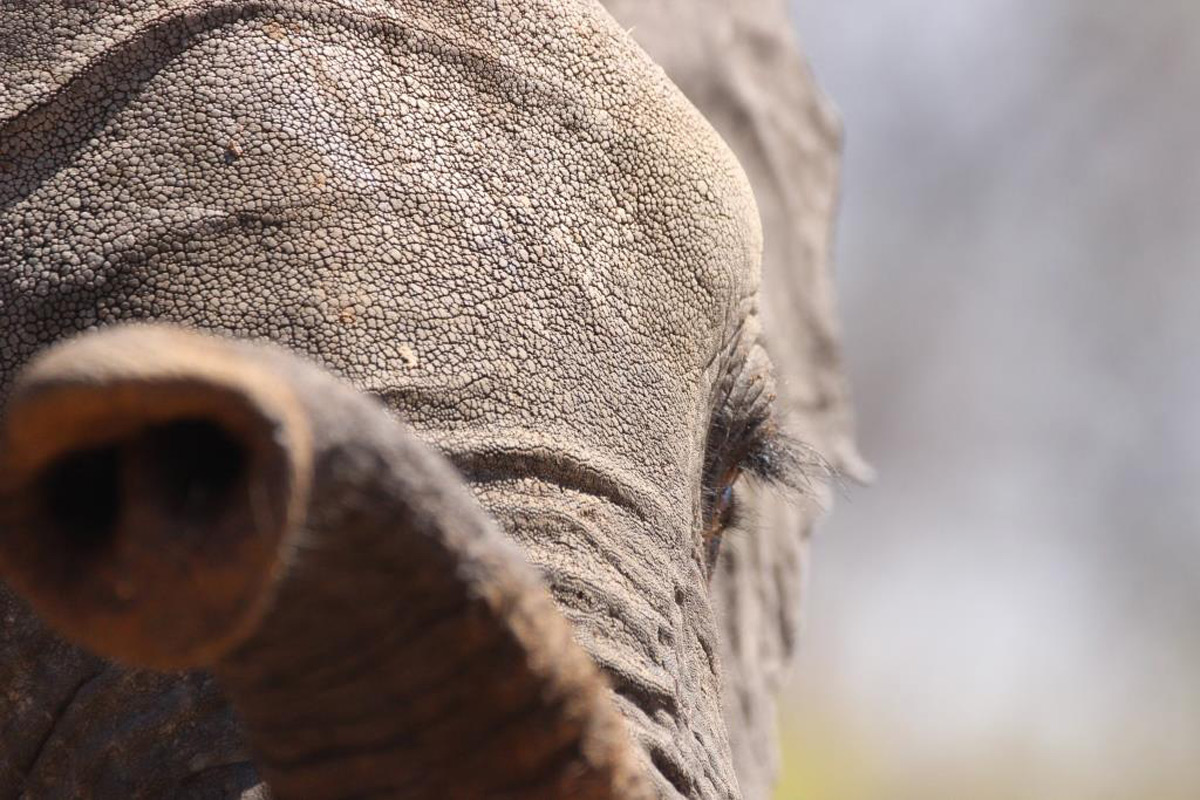 A young elephant plays with the dusty red earth with his trunk in Hwange National Park, Zimbabwe © Michelle McKissock