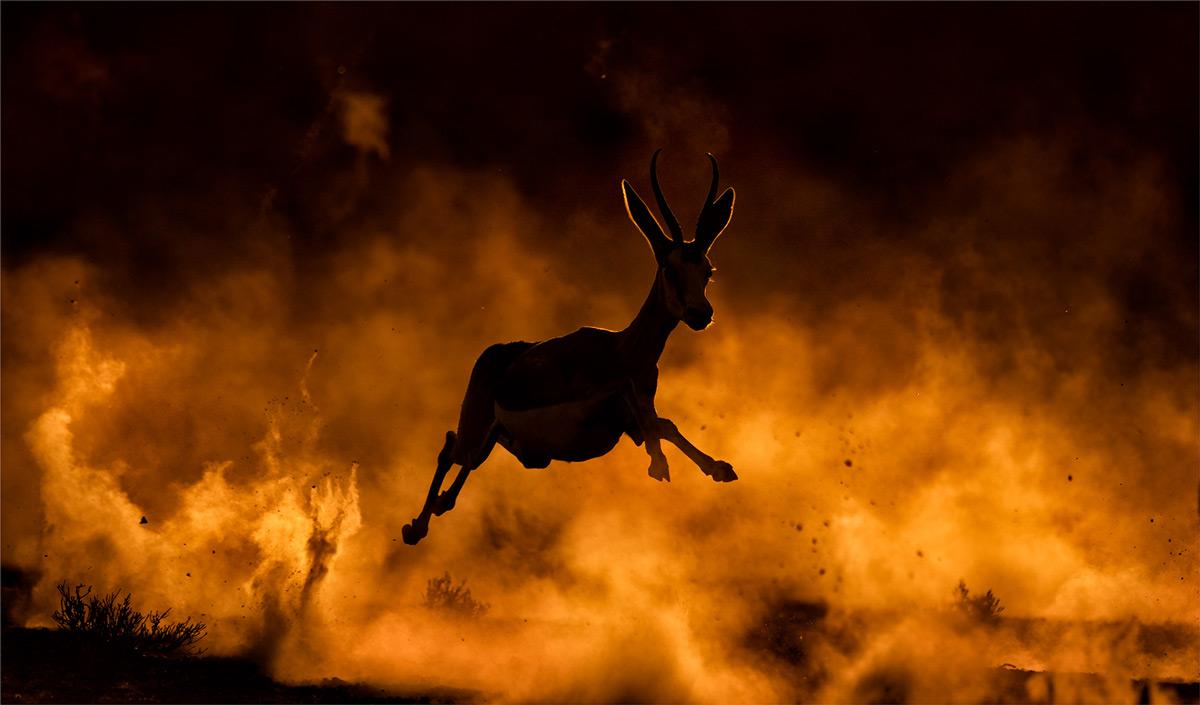 Dust is kicked up as springbok run from a cheetah in Kgalagadi Transfrontier Park, South Africa © Michiel Duvenhage