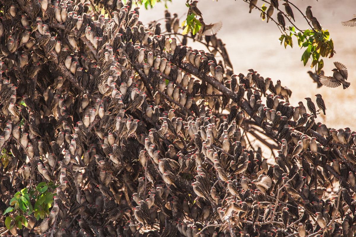 A red-billed quelea flock rests on a tree in Ongava Game Reserve, Namibia © Natalya Privalenko