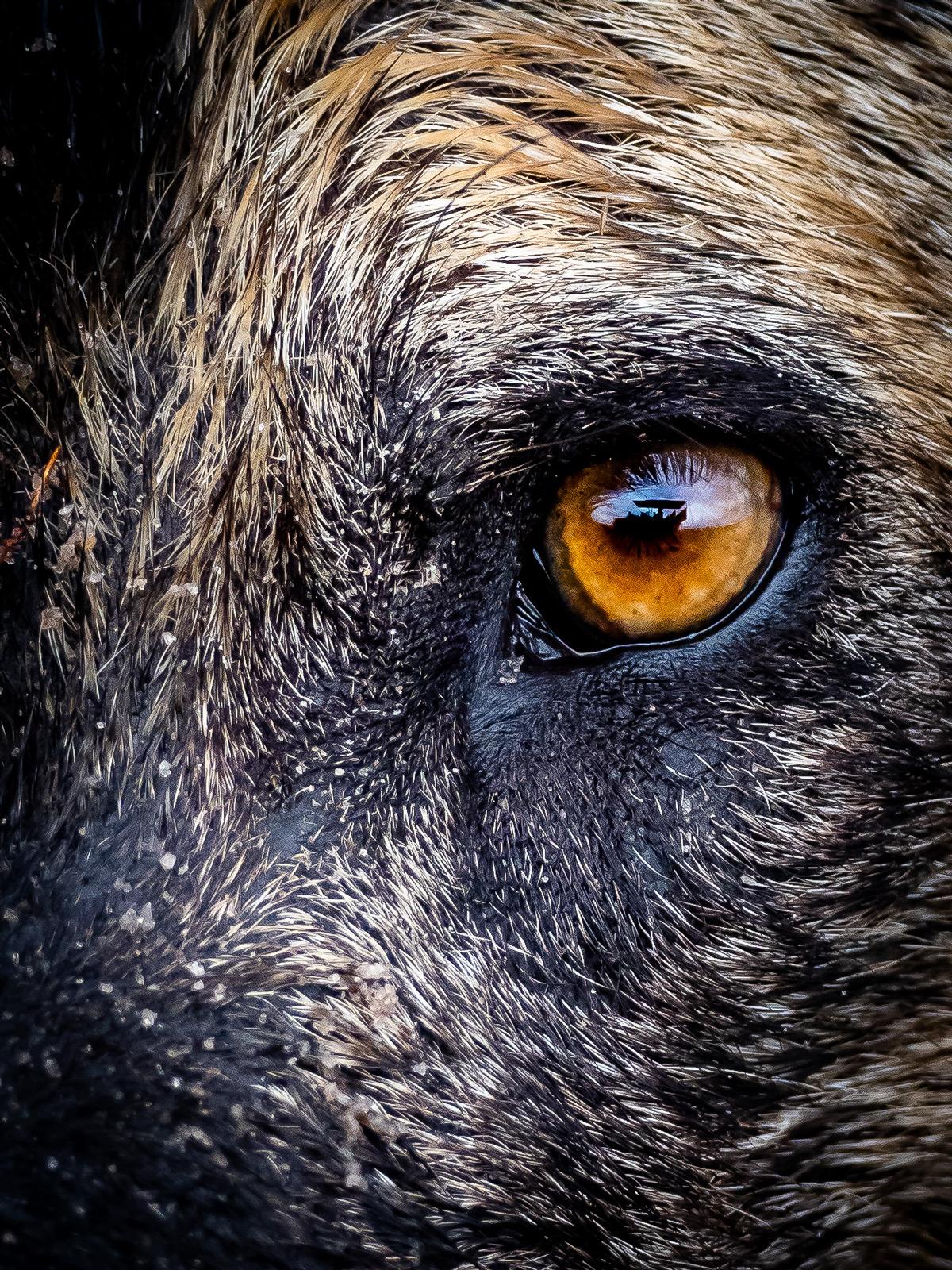 Close up of an alpha female painted wolf (African wild dog) in Vumbura Plains, Okavango Delta, Botswana © Nick Leuenberger