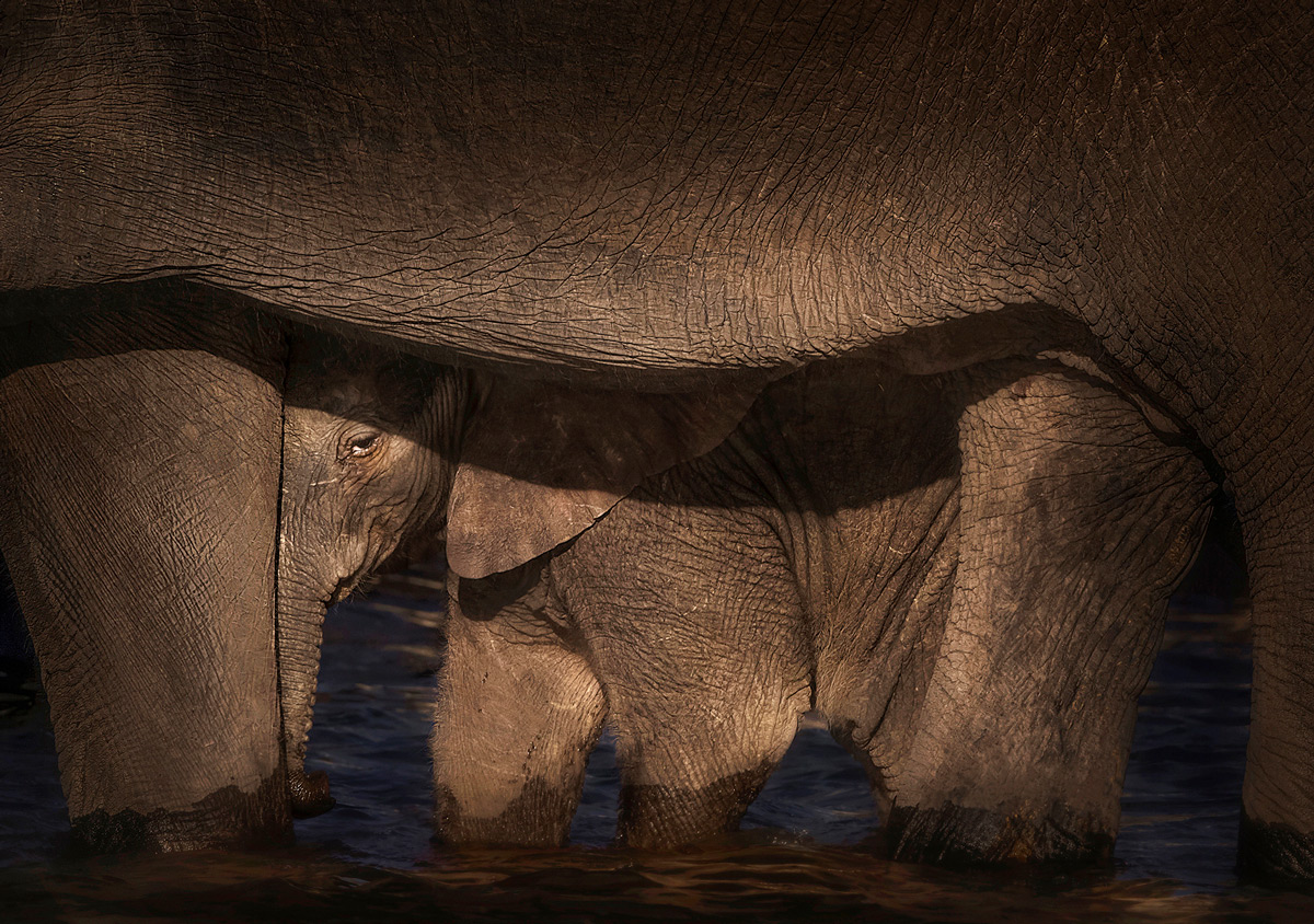 An elephant calf finds safety by its mother while in the Chobe River, Botswana © Panos Laskaraki