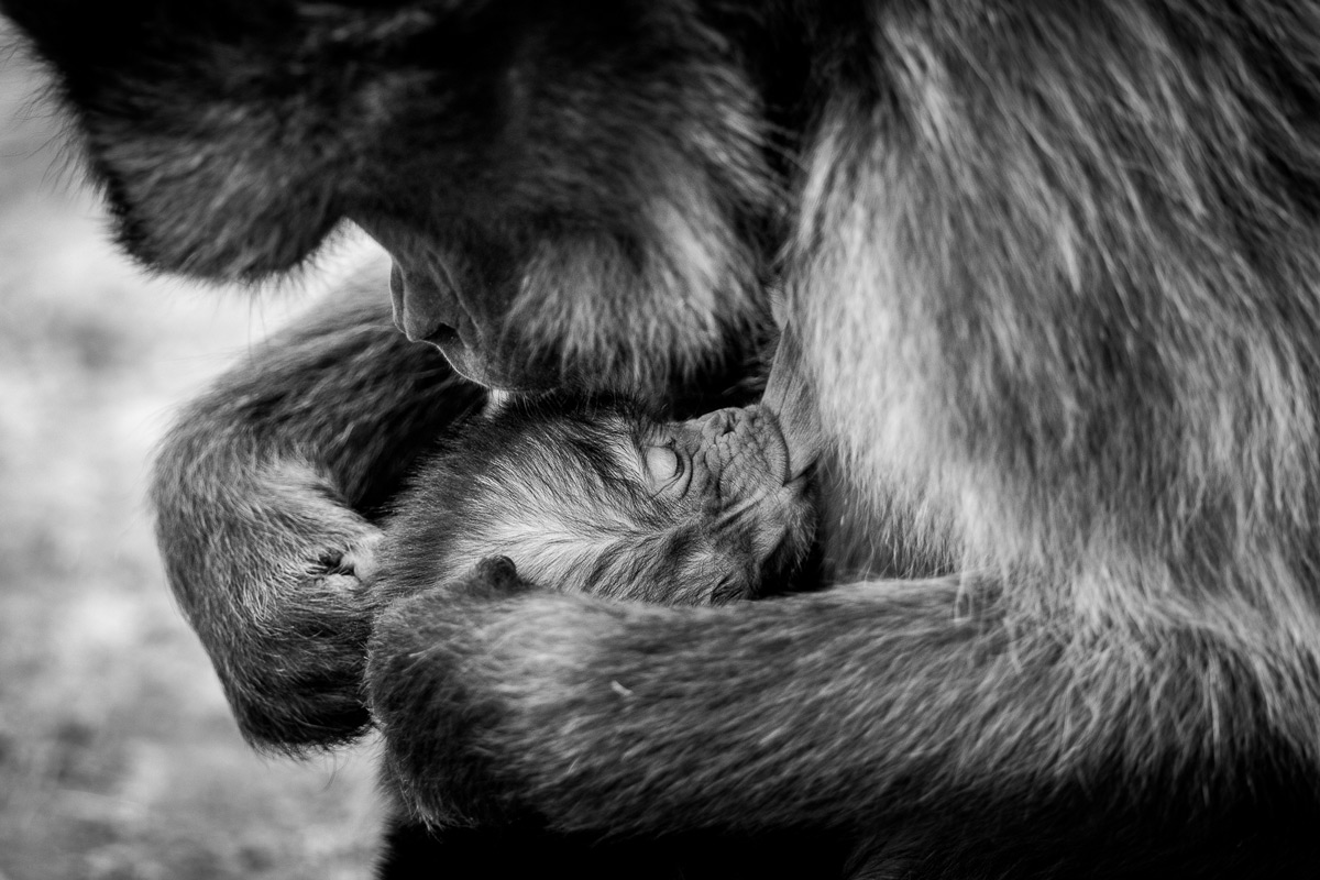 A mother gelada (also known as a bleeding-heart monkey) with her young in Simien Mountains National Park, Ethiopia © Patrice Quillard