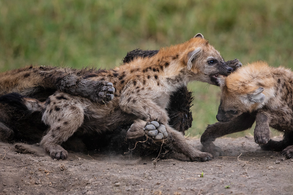 Hyena cubs compete to assert their dominance over the group in Maasai Mara National Reserve, Kenya © Patrice Quillard