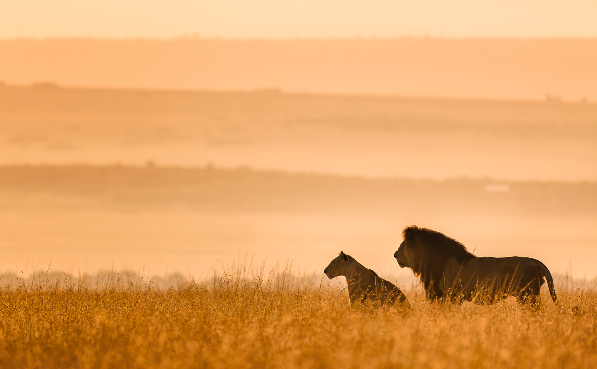 A mating pair of lions captured in the early morning in Maasai Mara National Reserve, Kenya ©  Preeti & Prashant Chacko
