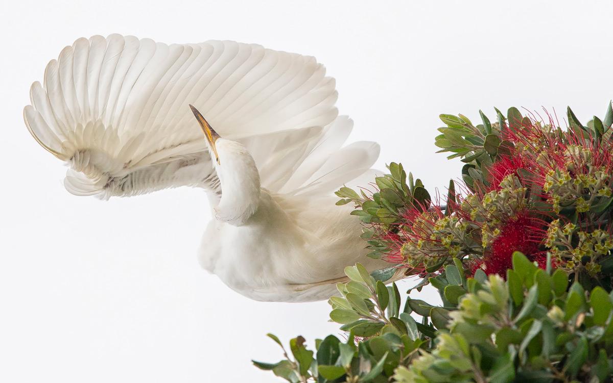 An egret preens itself in Plettenberg Bay, South Africa © Prelena Soma Owen