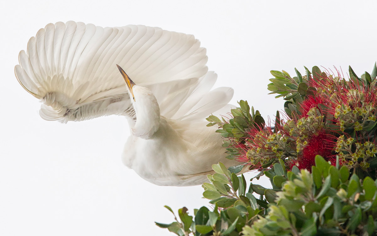 An egret preens itself in Plettenberg Bay, South Africa © Prelena Soma Owen