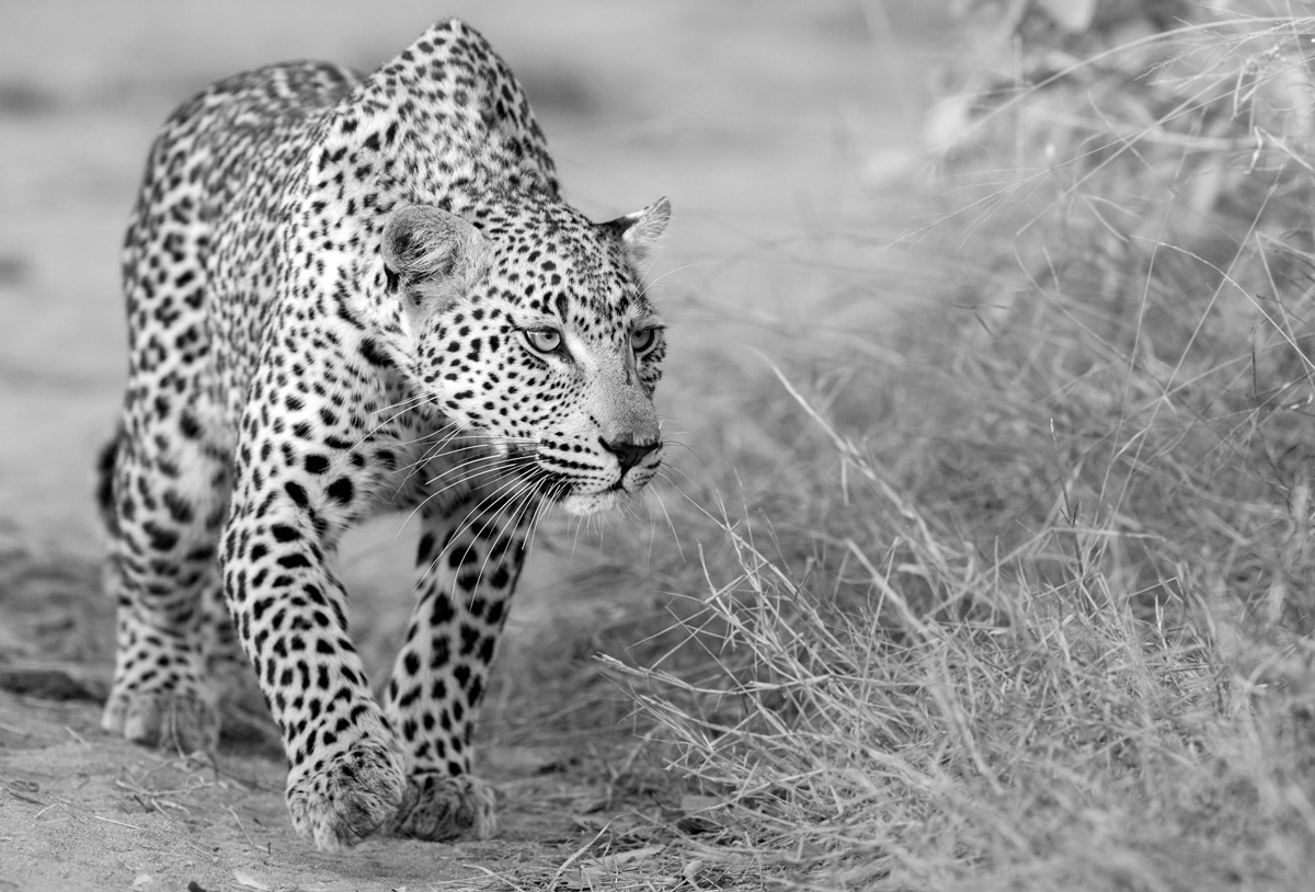 A leopardess on the hunt in Sabi Sands Private Game Reserve, South Africa © Prelena Soma Owen