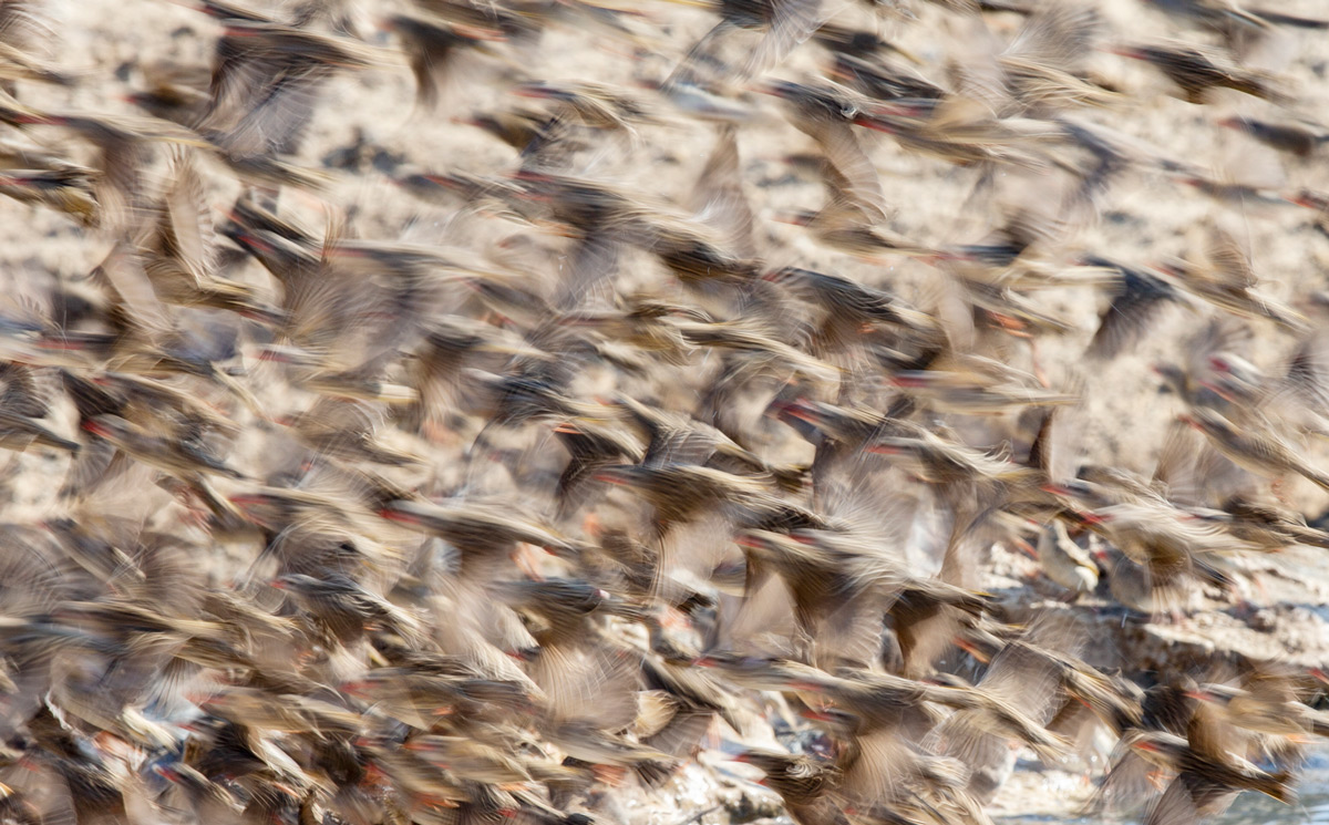 Red-billed queleas captured at a slow shutter speed in Kgalagadi Transfrontier Park, South Africa © Prelena Soma Owen