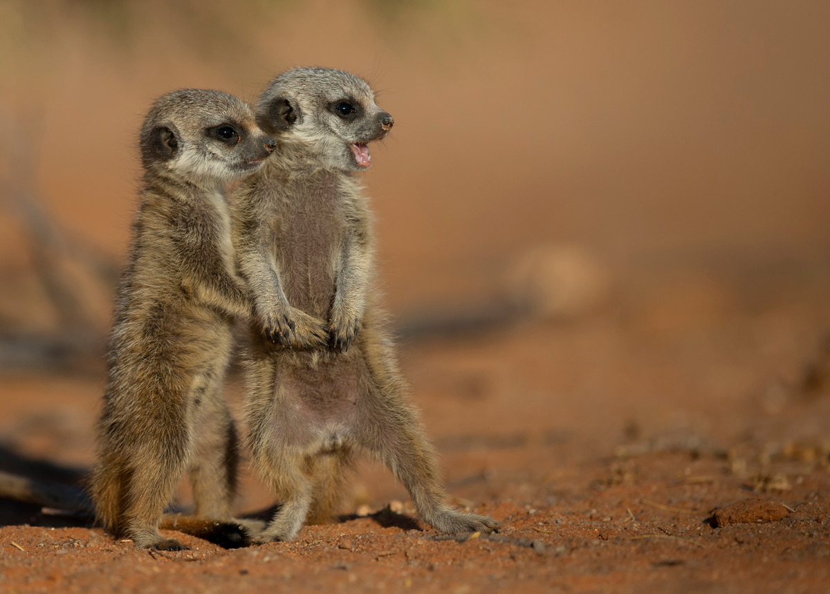 Baby meerkats at play in Kgalagadi Transfrontier Park, South Africa © Prelena Soma Owen