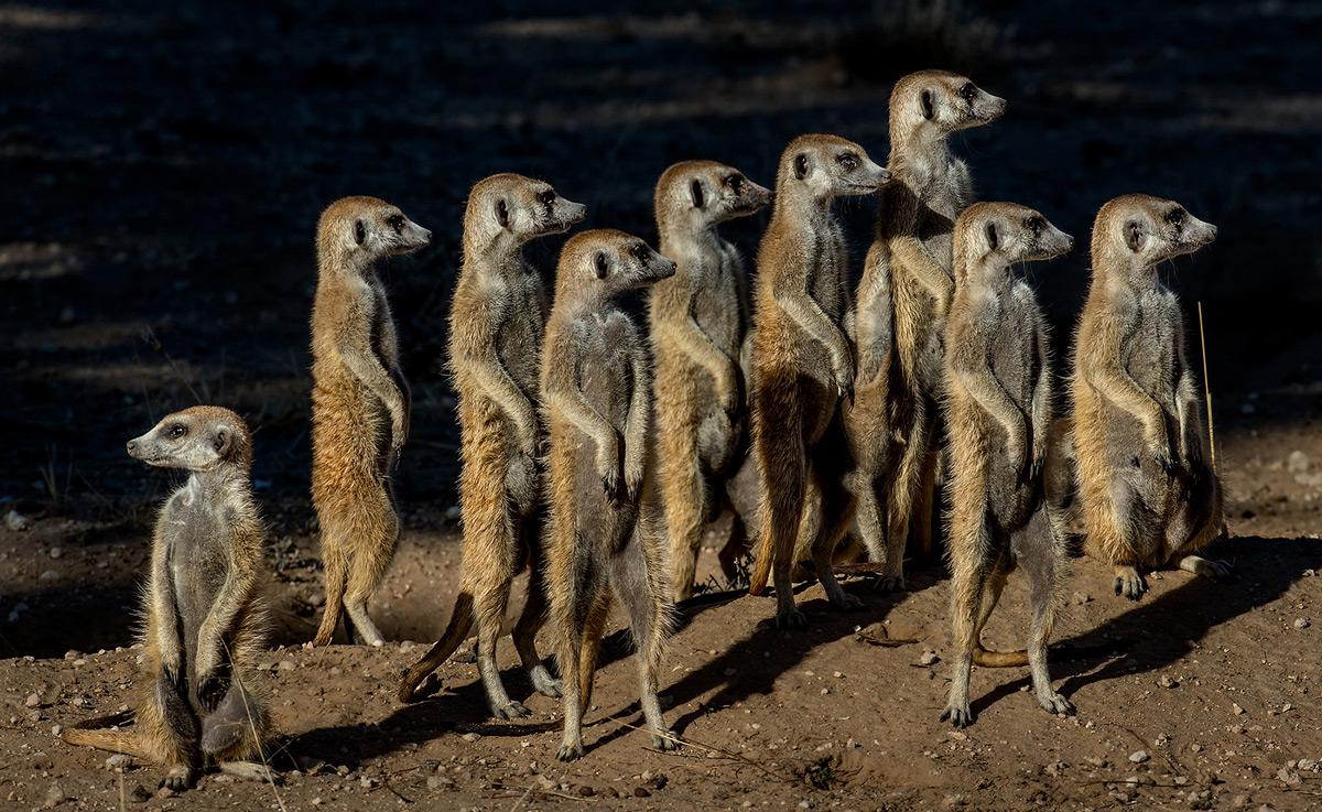 Meerkats on the lookout for possible danger in Kgalagadi Transfrontier Park, South Africa © Prof. Gert Lamprecht