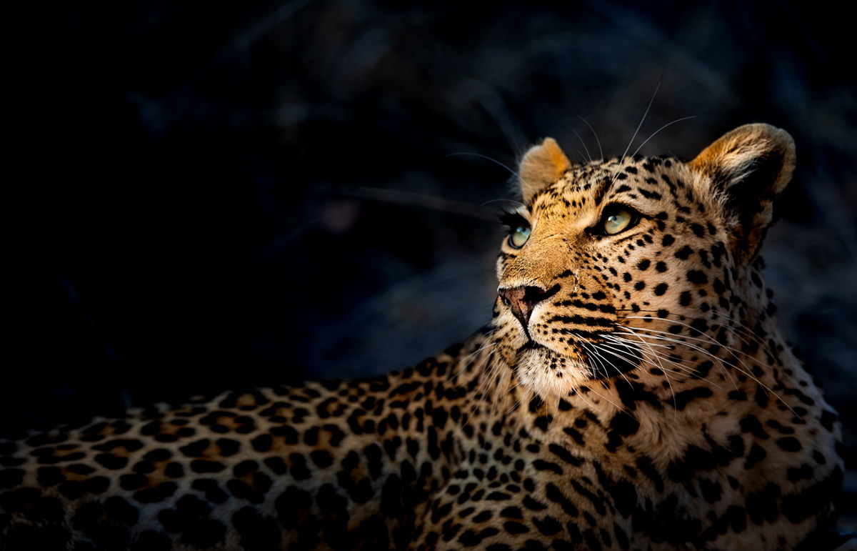 A leopardess looks towards the tree where she left her kill the night before in Sabi Sands Private Game Reserve, South Africa © Randall Ball