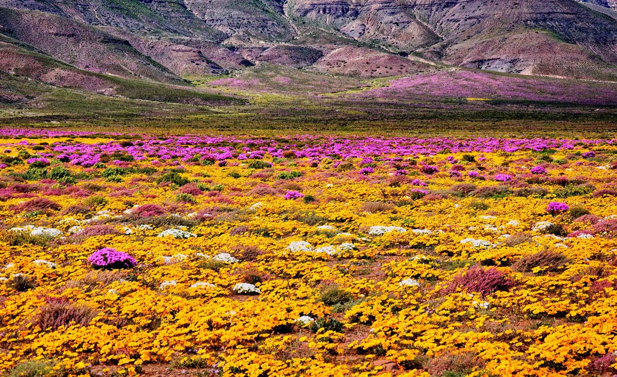 Spring flower carpet in Tankwa Karoo National Park, South Africa © Riaan Wolhuter