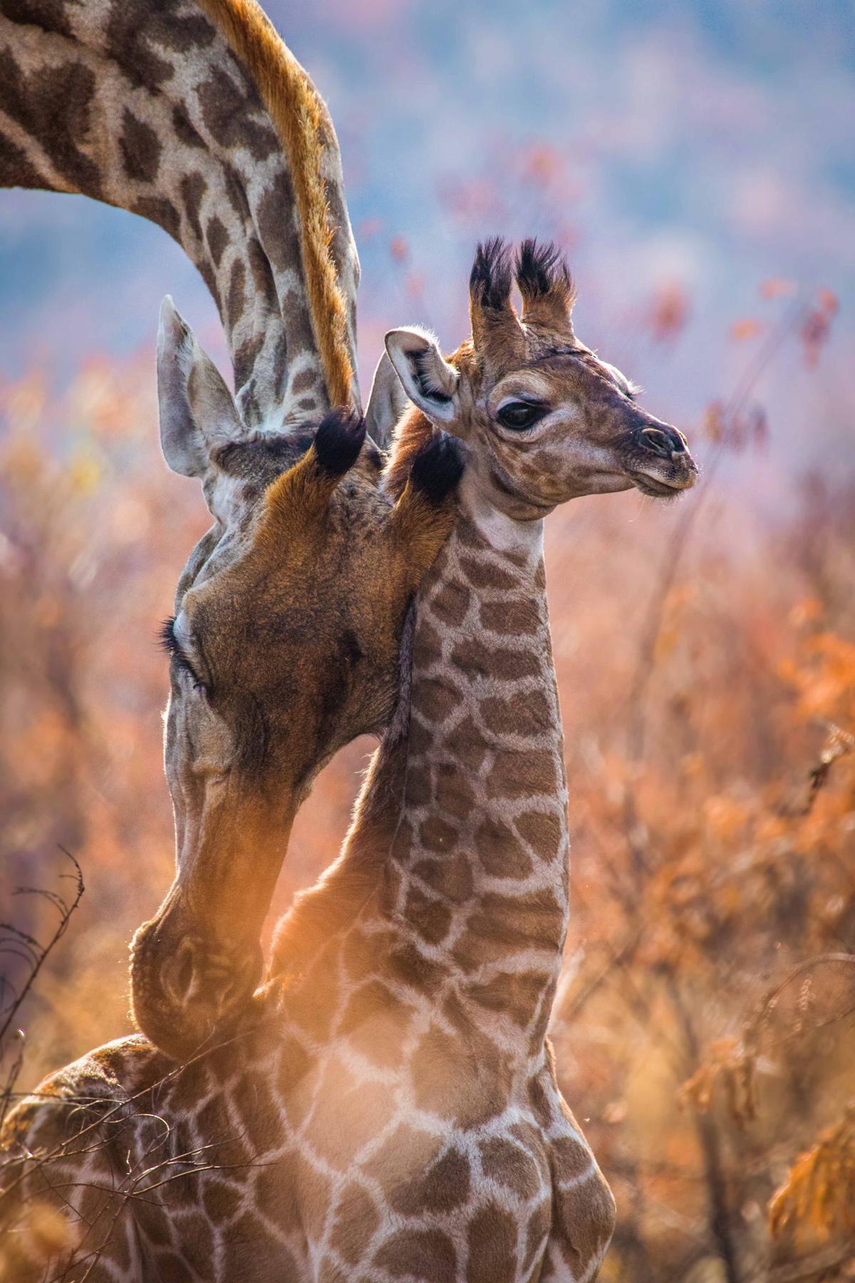 Giraffe mother and calf © Rodney Nombekana