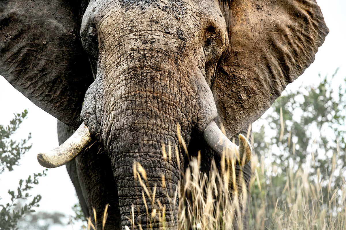 Up close with an elephant in Sabi Sands Private Game Reserve, South Africa © Ross Couper