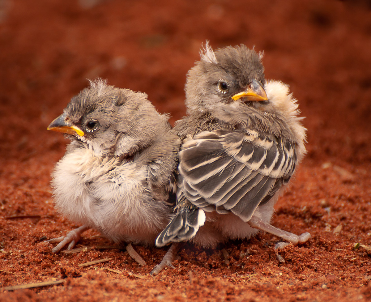 Scaly-feathered finch chicks in southern Namib Desert, Namibia © Sanet Rossouw