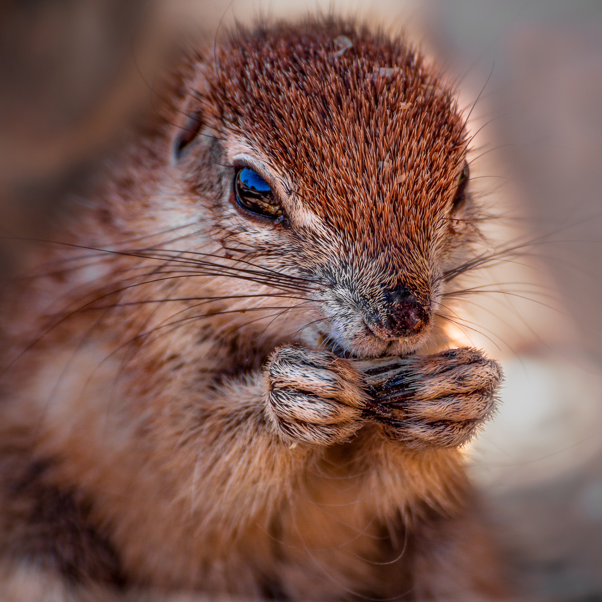 A cute baby Cape ground squirrel spotted in southern Namib, Namibia © Sanet Rossouw