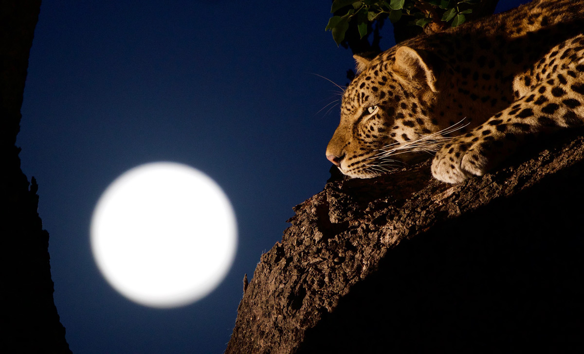 A leopardess and the super blood wolf moon, Sabi Sands Private Game Reserve, South Africa © Sean Parker