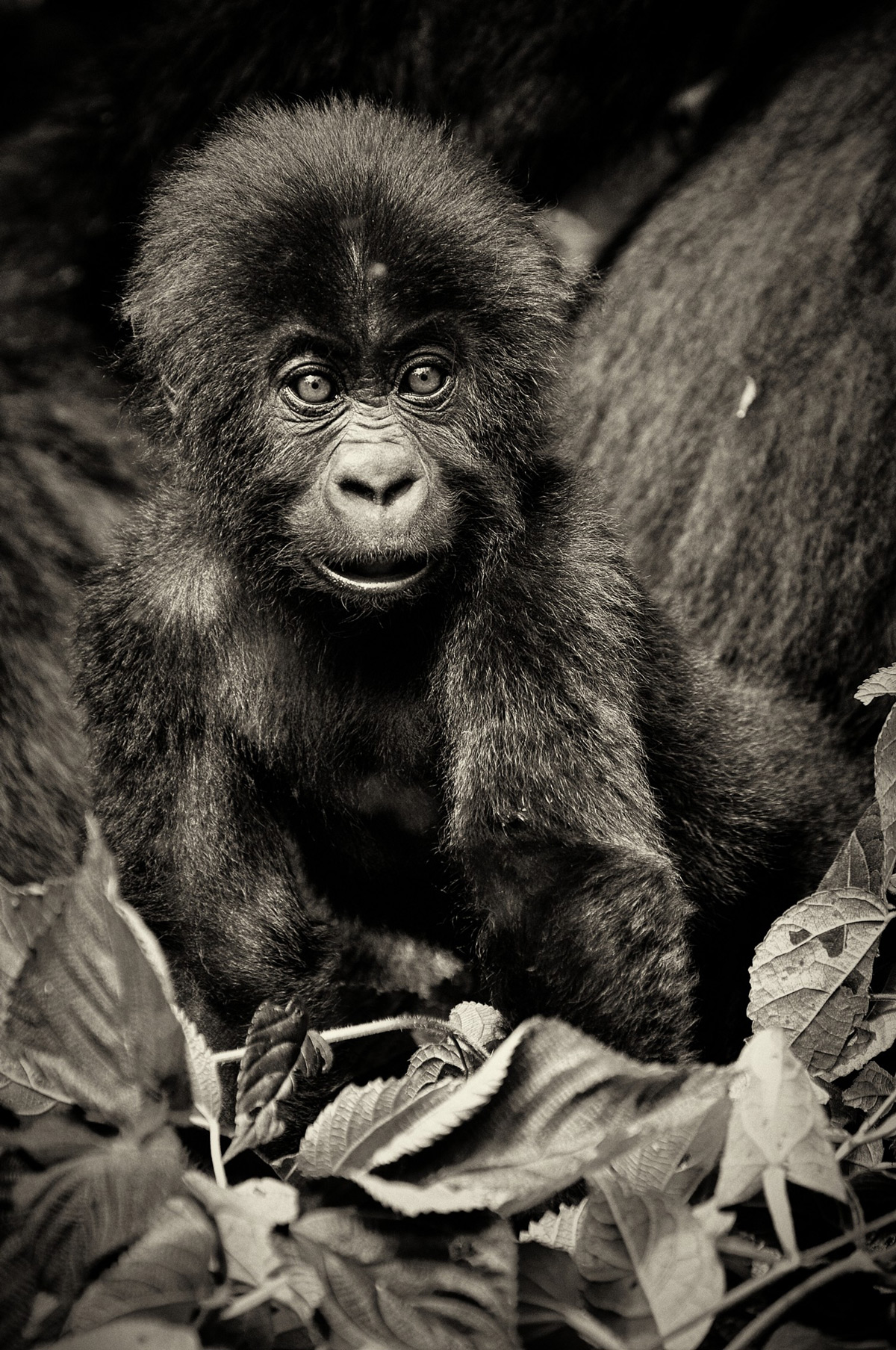 An eastern lowland gorilla (Grauer's gorilla) infant in Kahuzi-Biega National Park, Democratic Republic of the Congo © Sushil Chauhan