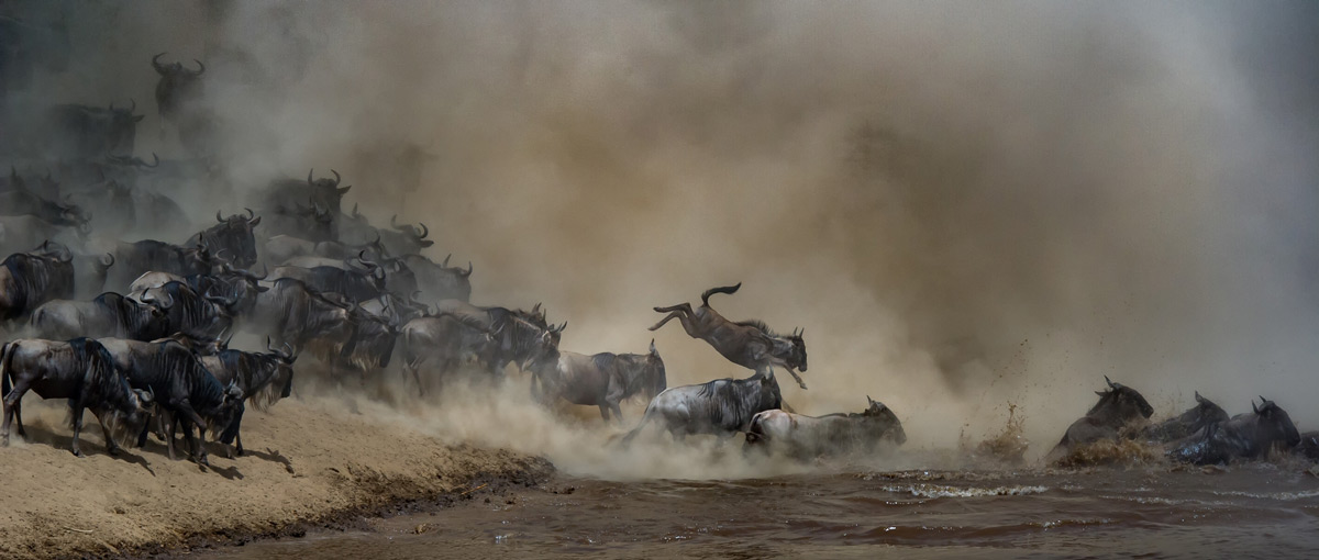 Dust fills the air as wildebeest make their way across the Mara River in Maasai Mara National Reserve, Kenya © Tania Cholwich