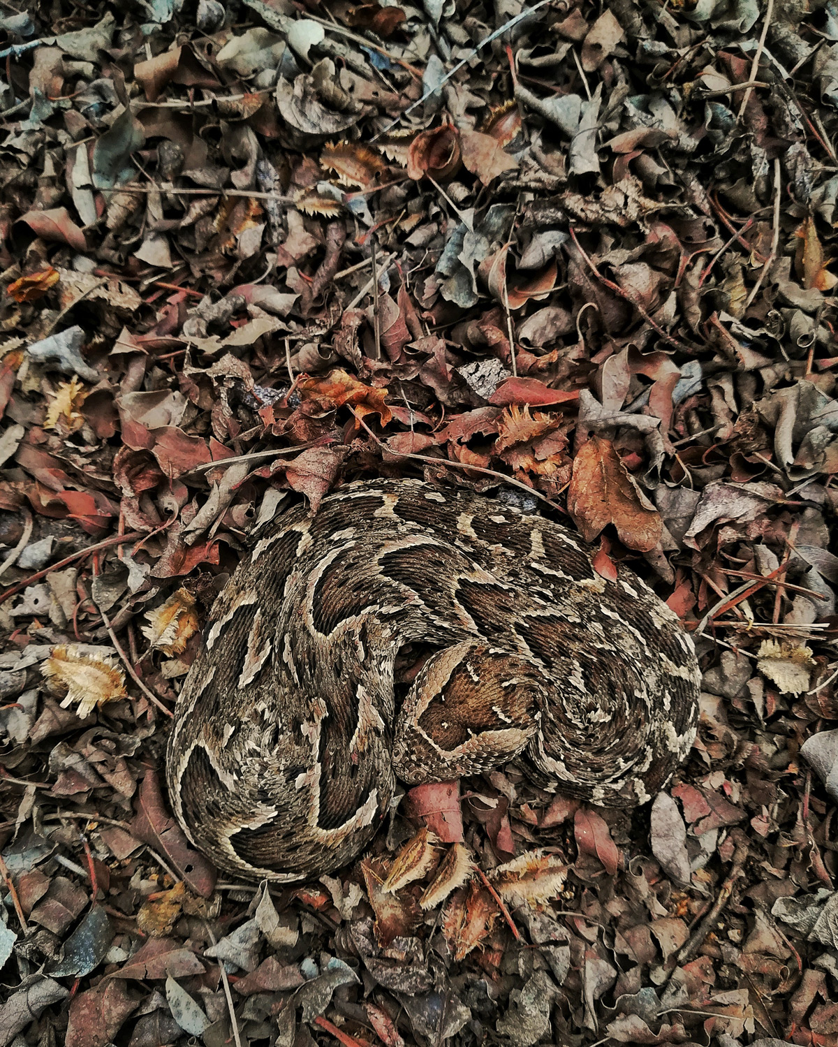 """Master of camouflage"" – a puff adder in Kruger National Park, South Africa © Theo Busschau"