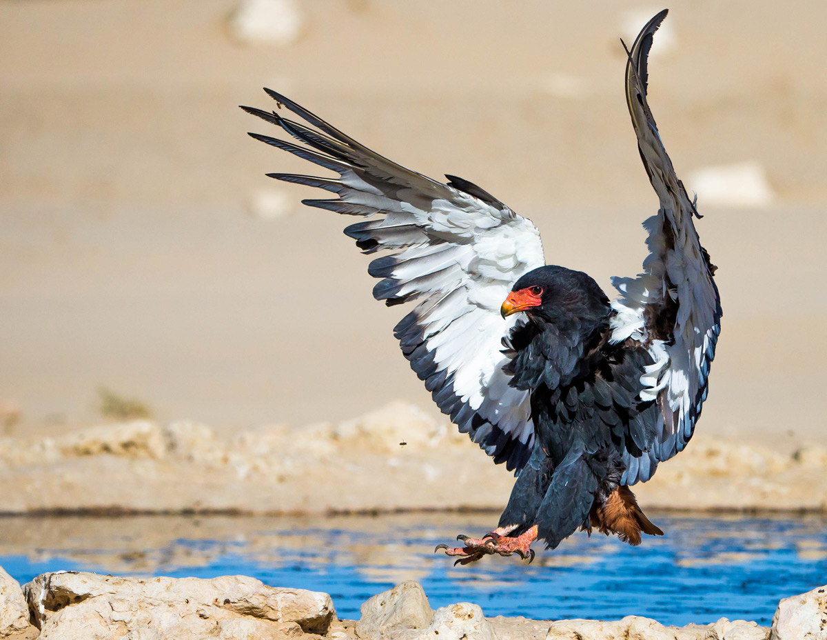 A bateleur comes in to land by a waterhole in Kgalagadi Transfrontier Park, South Africa © Willem Landman
