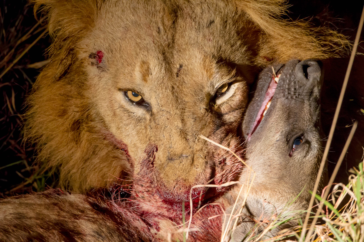 A lion with a spotted hyena in Sabi Sands Private Game Reserve, South Africa © Willem Landman