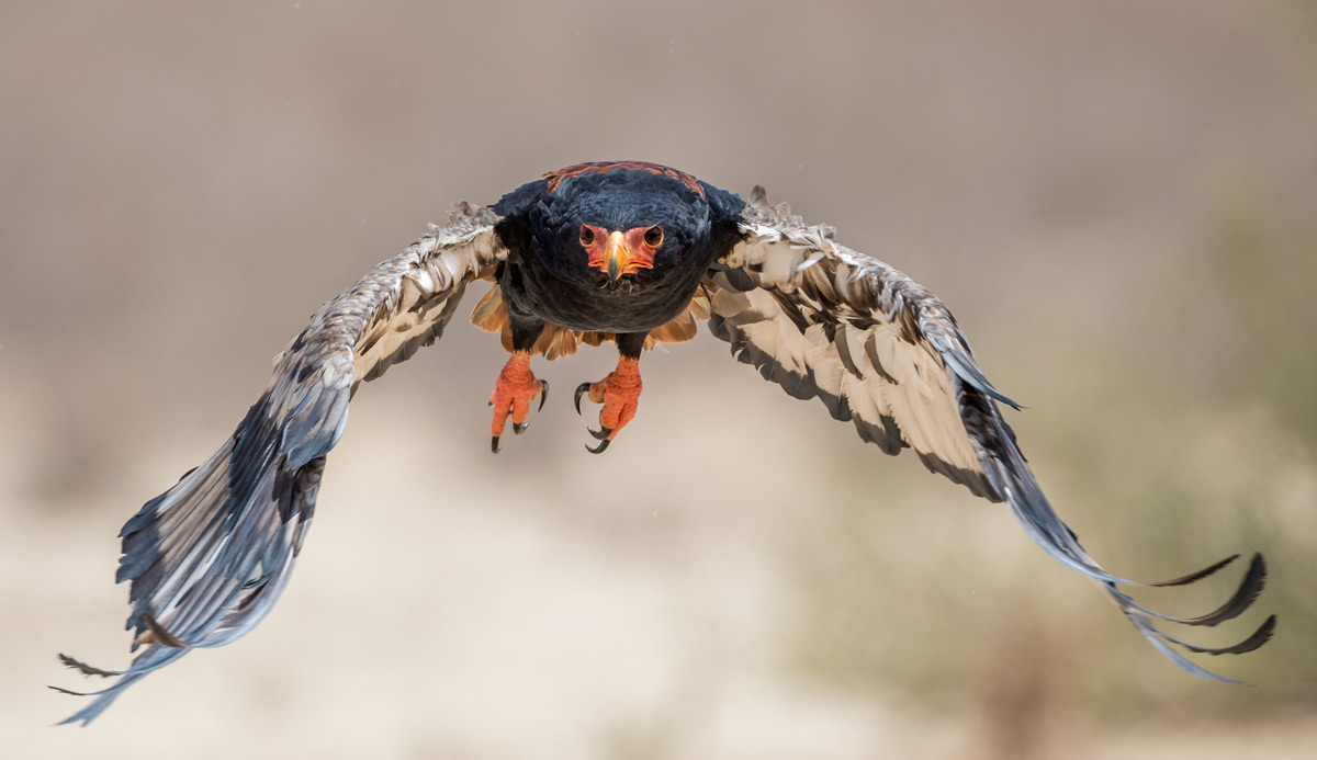 A bateleur in full flight in Kgalagadi Transfrontier Park, South Africa © Willie van Schalkwyk
