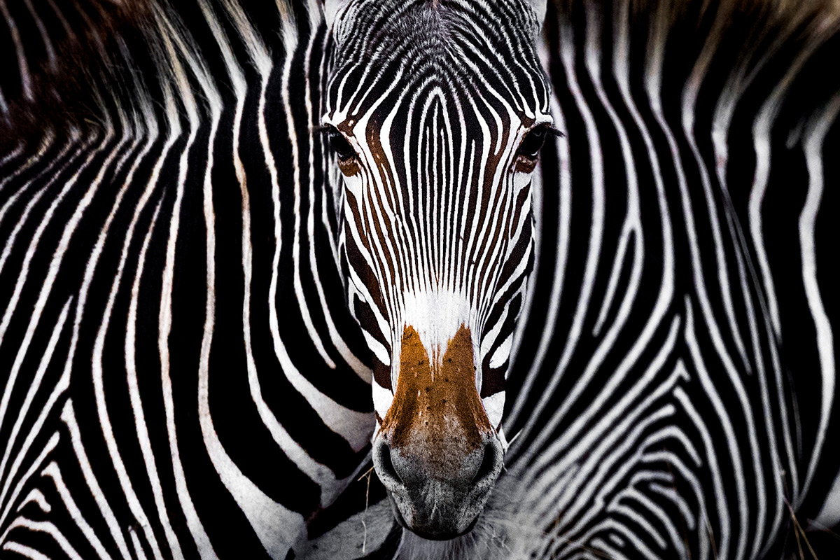 'The Grevy's zebra illusion' – Lewa Wildlife Conservancy, Kenya © Yaron Schmid