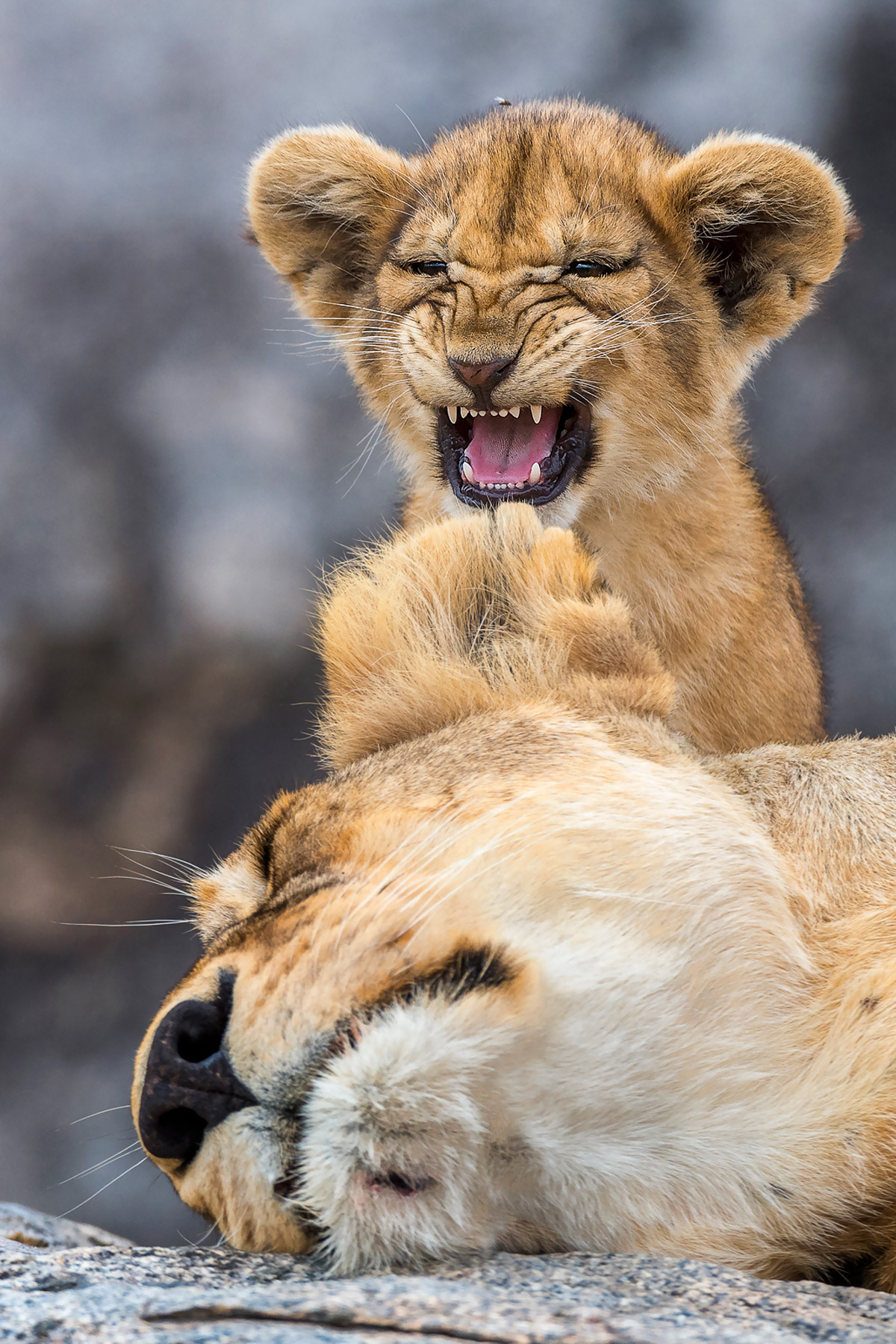 A lion cub tries to gets his mother's attention in Serengeti National Park, Tanzania © Yaron Schmid