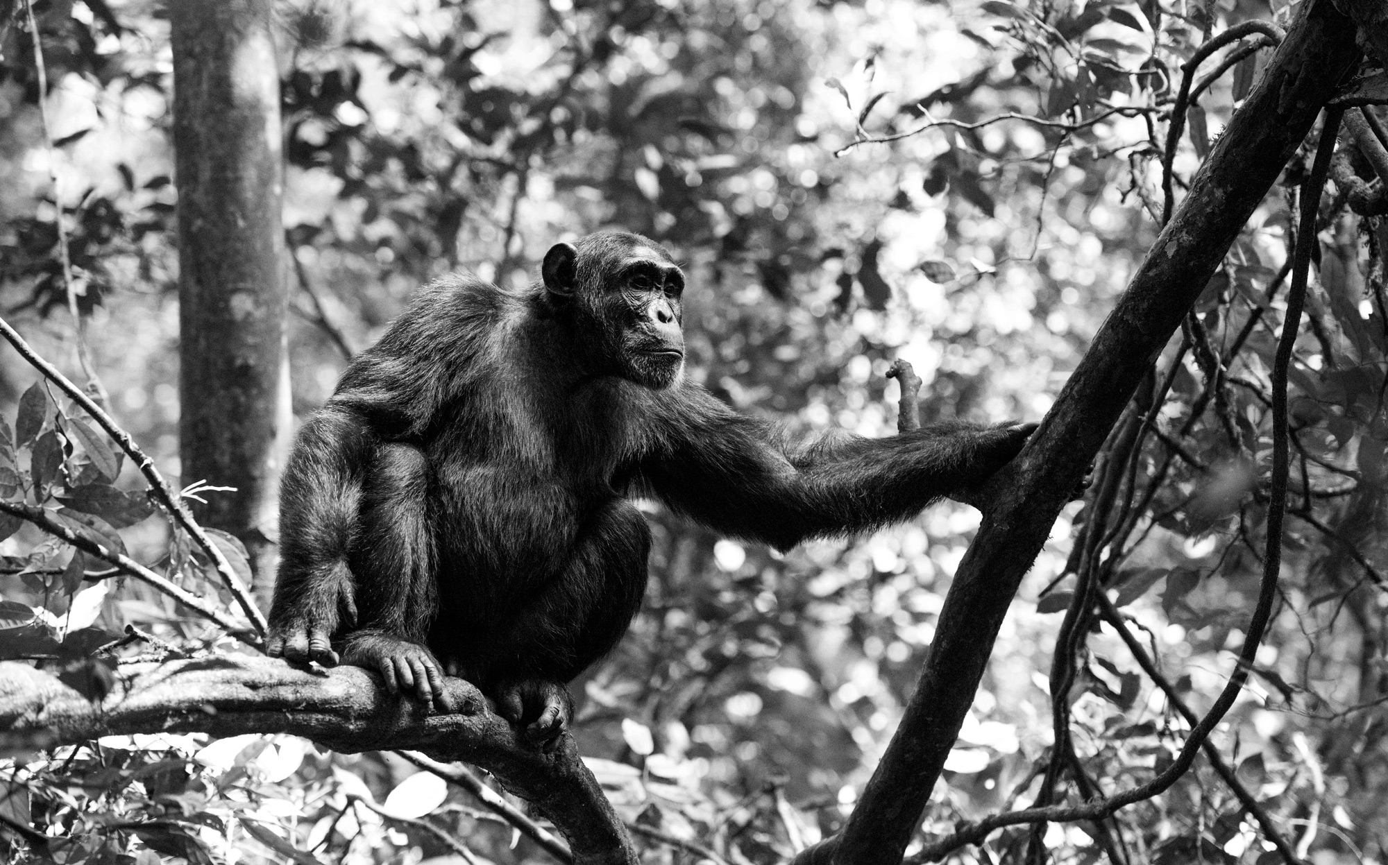 A chimpanzee in Kibale Forest National Park, Uganda © Andrea Galli