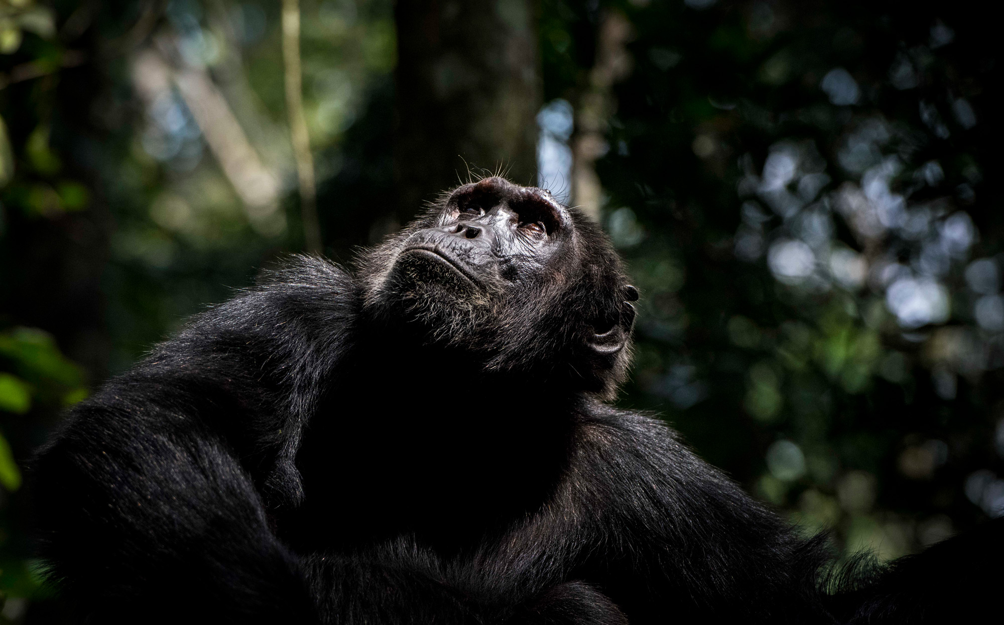 A chimpanzee gazes up into the trees in Kibale National Park, Uganda © Andrea Galli