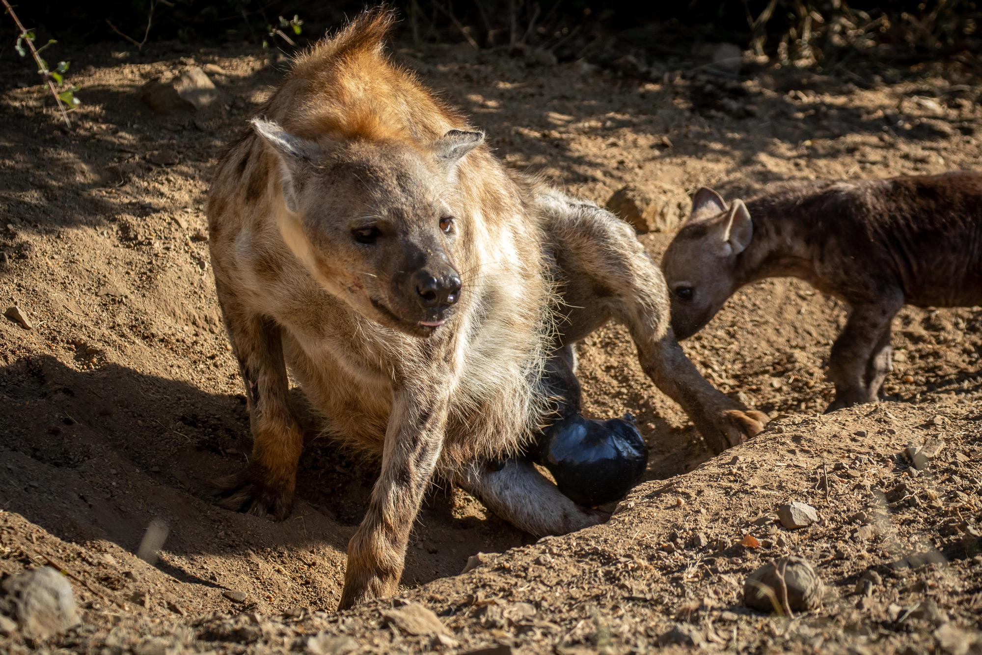 Hyena Birth – Moment of Magic - Africa Geographic Magazine