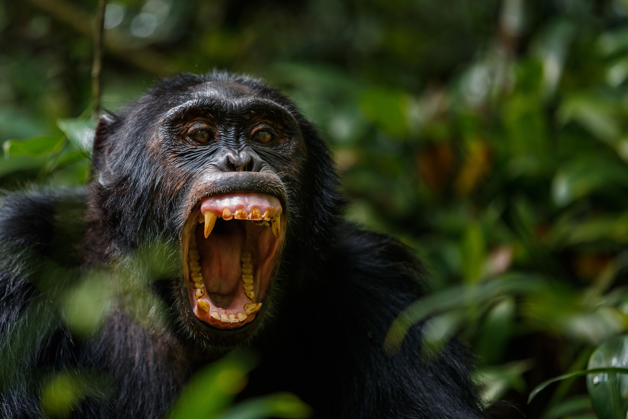Threat display from a chimpanzee in Bwindi Impenetrable National Park, Uganda © Thorsten Hanewald