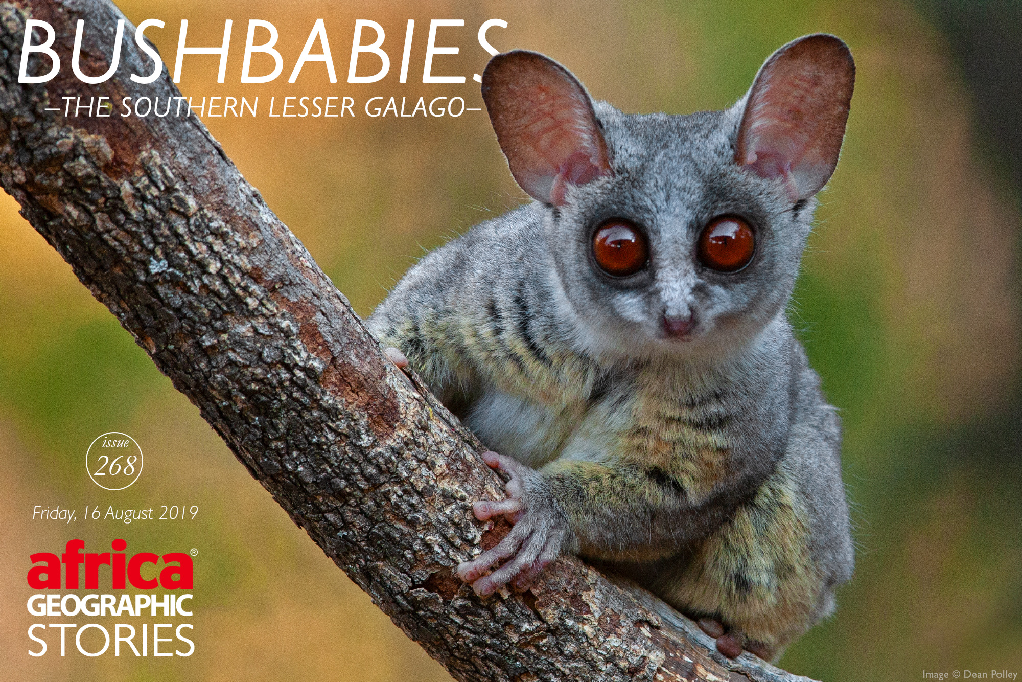 Bushbabies - The Southern Lesser Galago - Africa ...