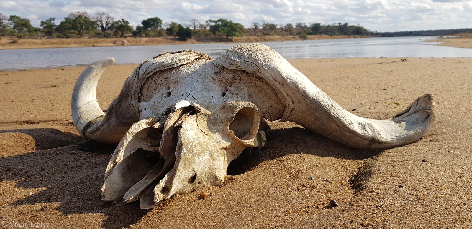 Skull of a buffalo on a riverbank in Gonanezhou National Park