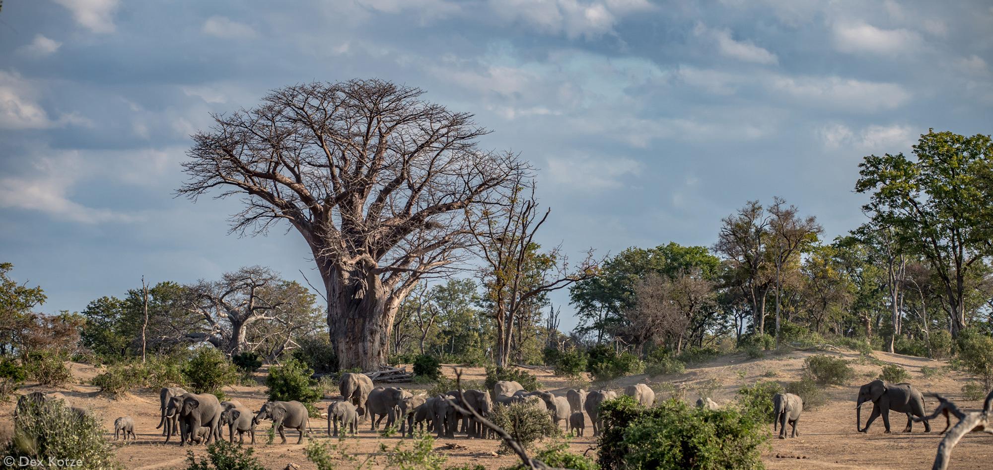 Elephants and baobab trees in Gonarezhou National Park, Zimbabwe