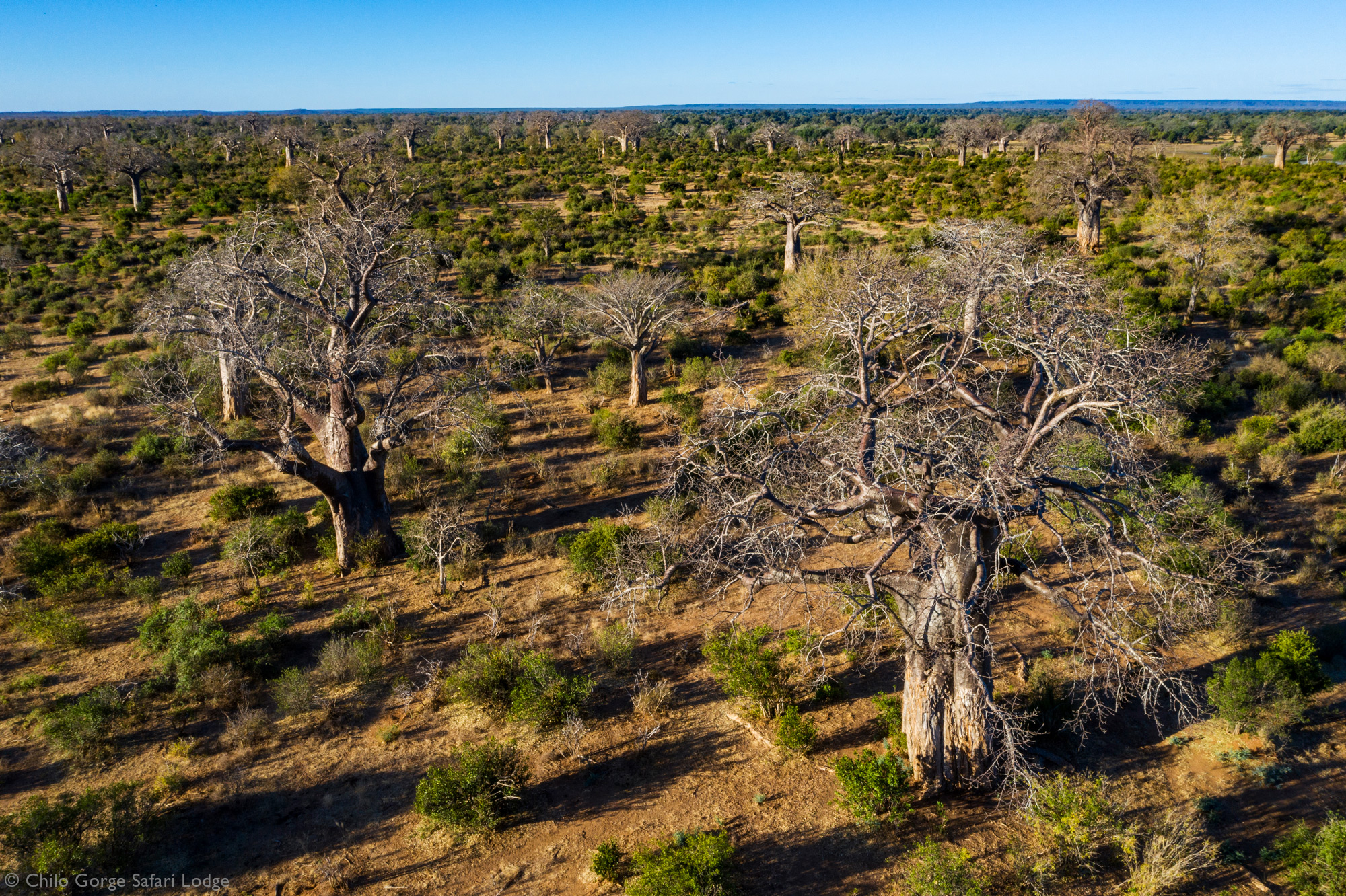Baobab trees in Gonarezhou National Park