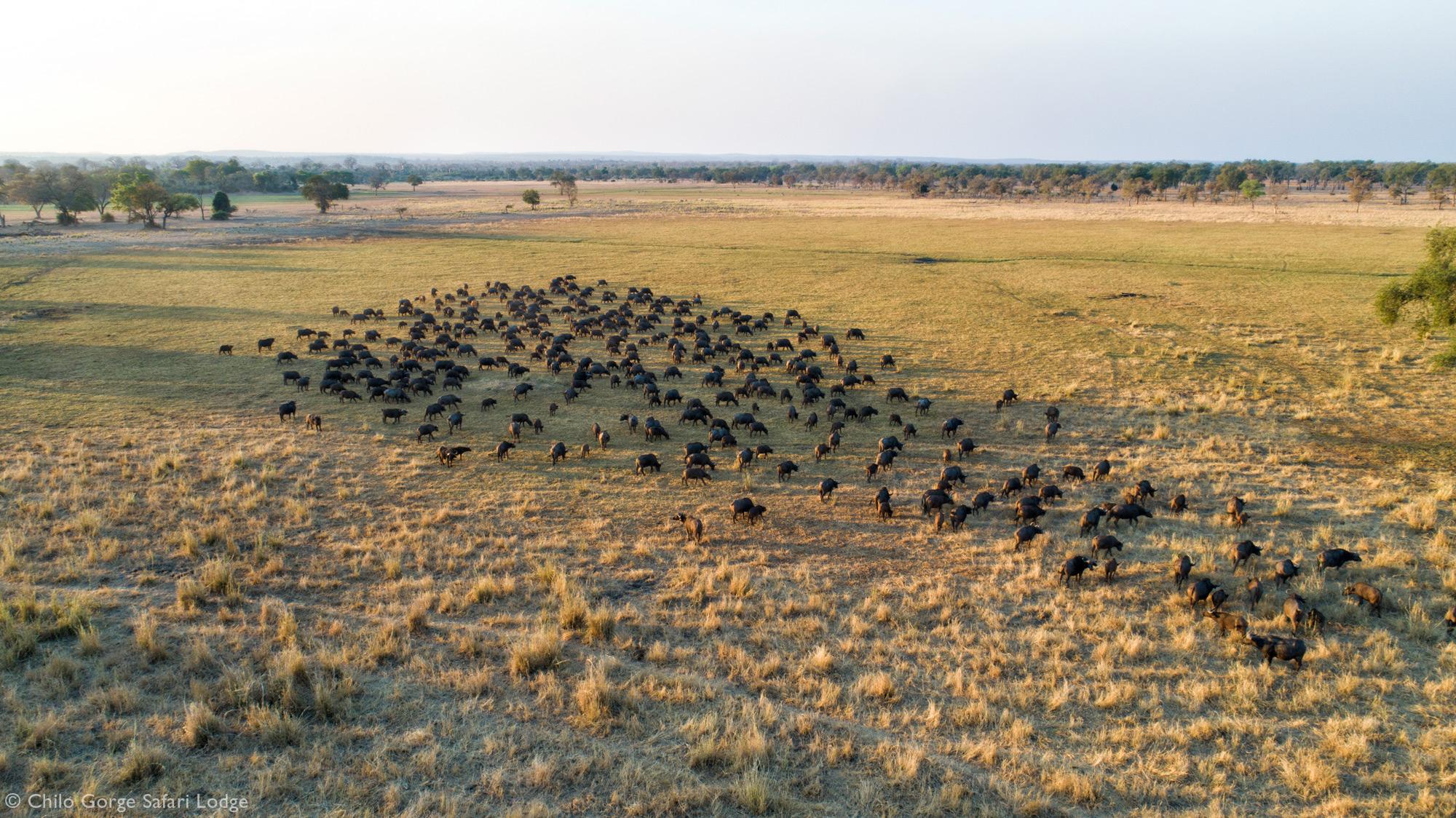 A large herd of buffalo grazing on the fertile Save River floodplain in Zimbabwe