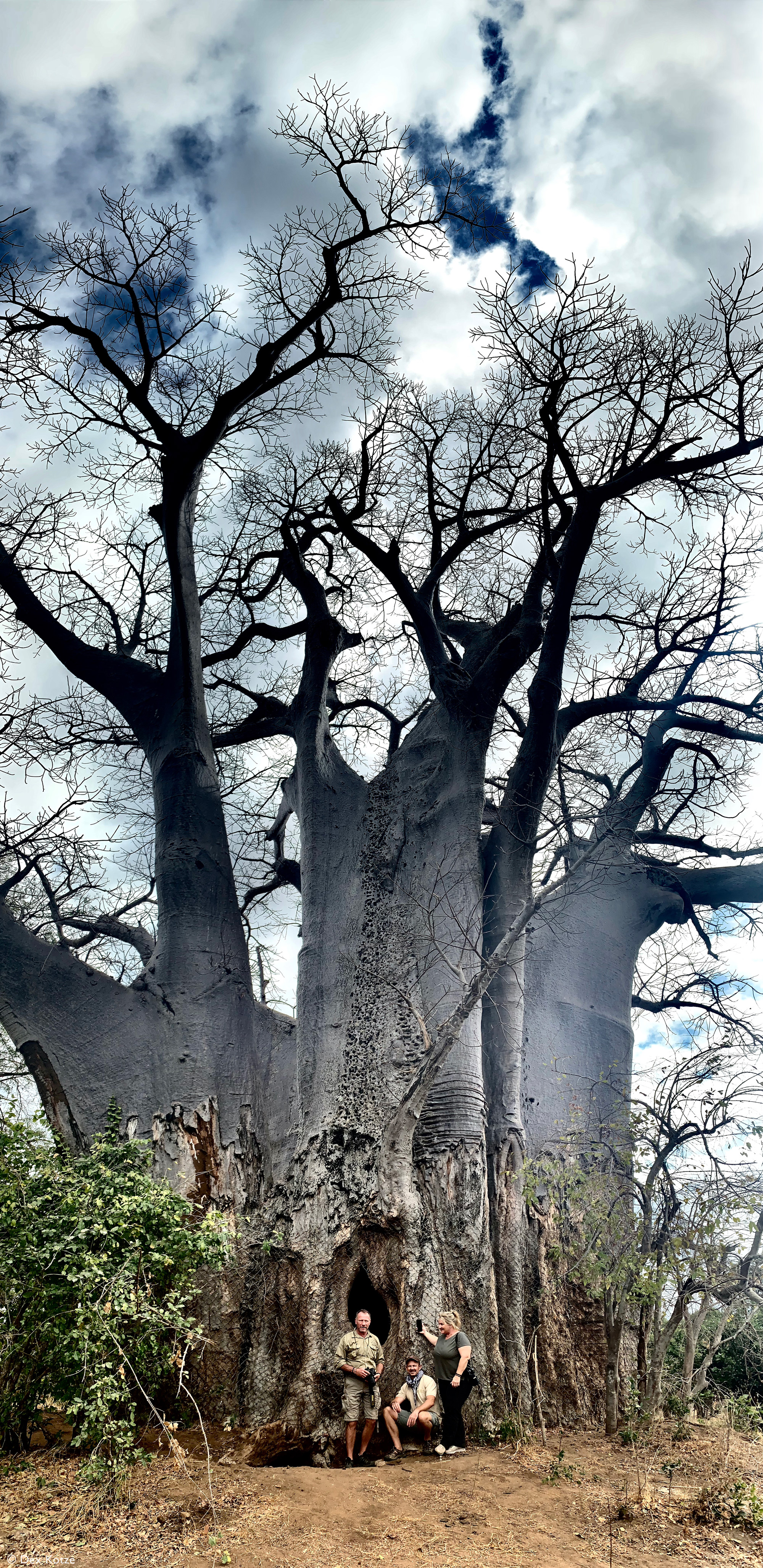 Shadreck's Office, baobab tree