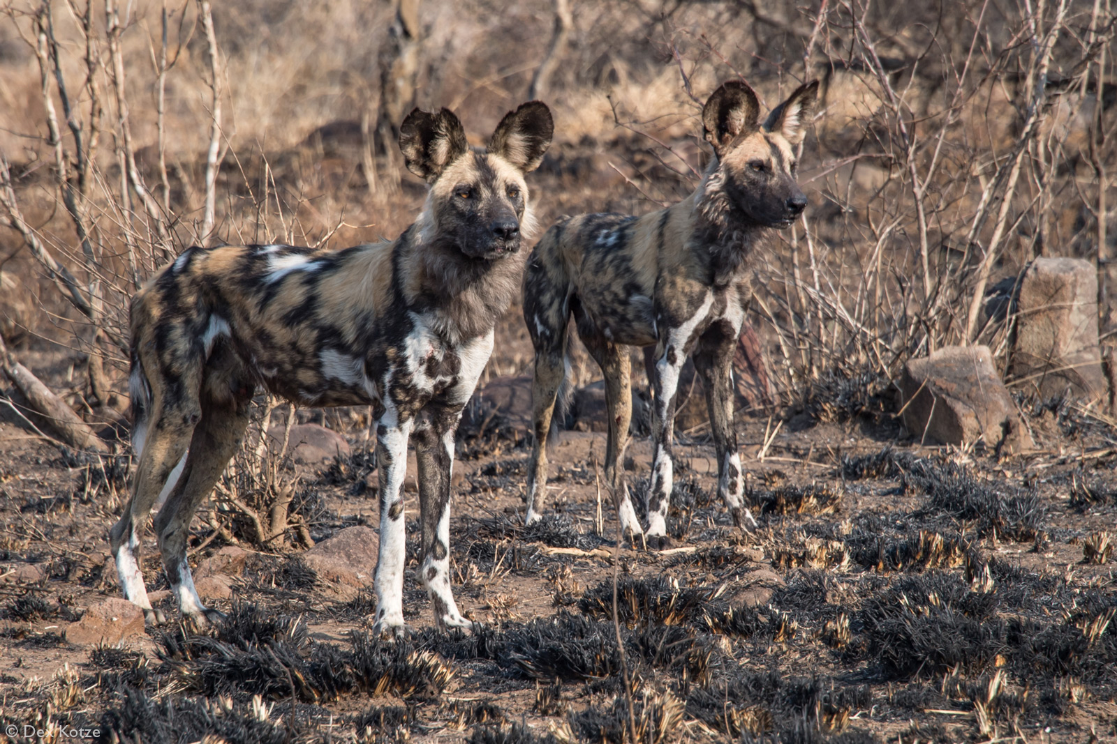 African wild dogs, or painted wolves