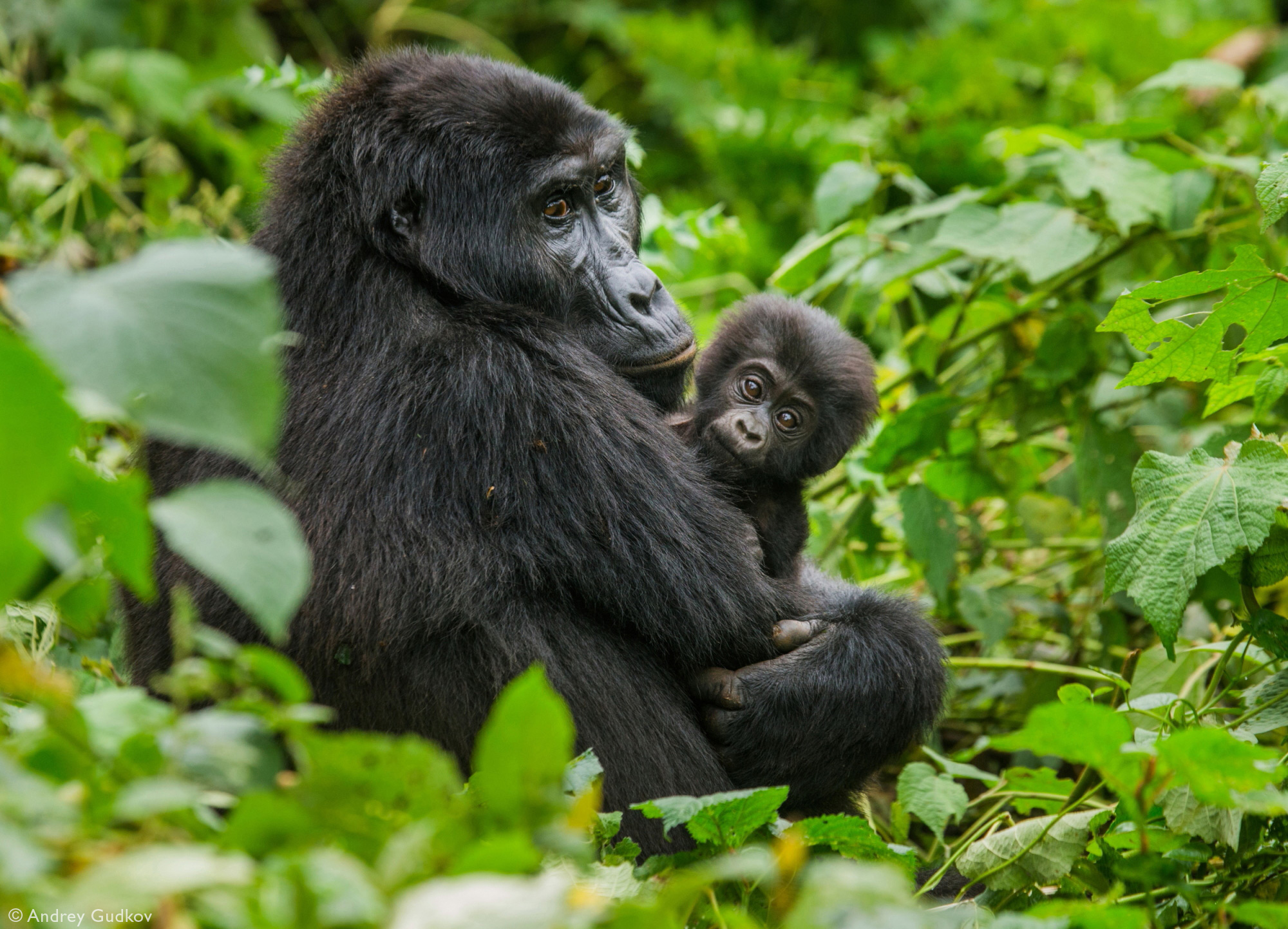A mother mountain gorilla with her baby in Bwindi Impenetrable National Park, Uganda © Andrey Gudkov