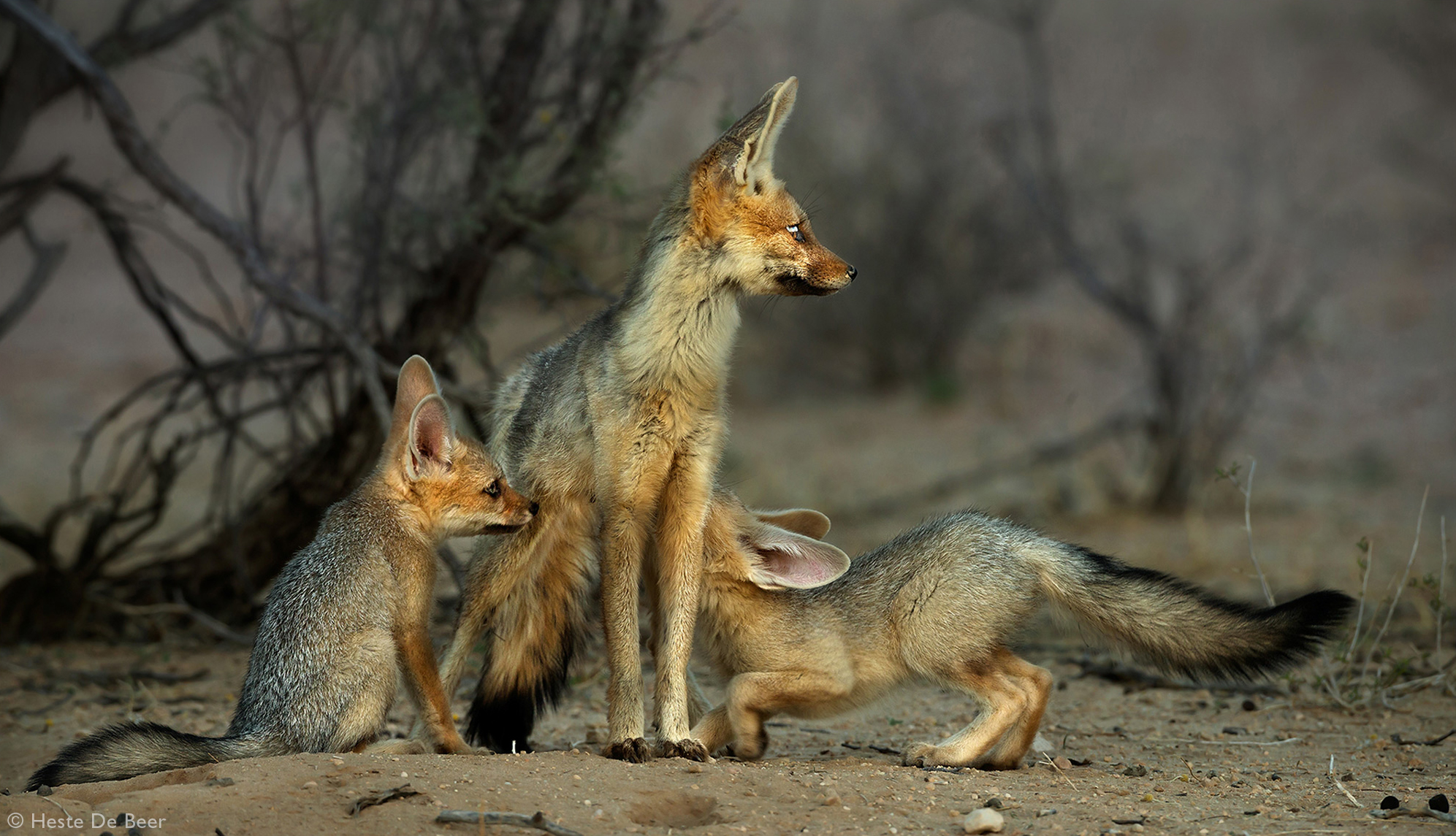 Two juvenile Cape foxes suckle on their mother in Kalahari Gemsbok National Park, South Africa